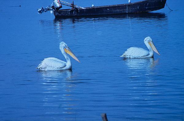 Αργυροπελεκάνοι κολυμπούν στη λίμνη Κερκίνη